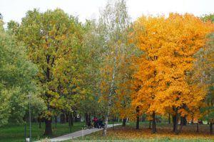Санитарную обрезку деревьев на Ленинском проспекте завершат до середины октября. Фото: Антон Гердо, «Вечерняя Москва»