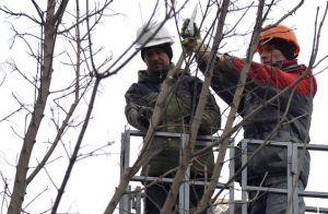 Крониварование тополей проведут в районе. Фото: сайт мэра Москвы