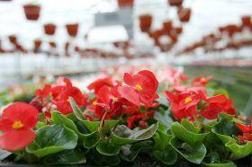 Цветы бегонии высадят по нескольким адресам в районе. Фото: сайт мэра Москвы