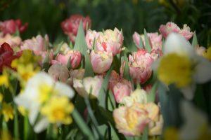 Посадку тюльпанов начнут в районе. Фото: Анна Быкова