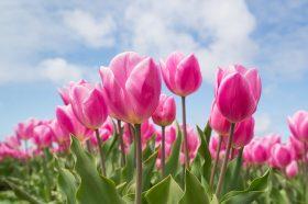 Посадка тюльпанов началась в районе. Фото: pixabay.com